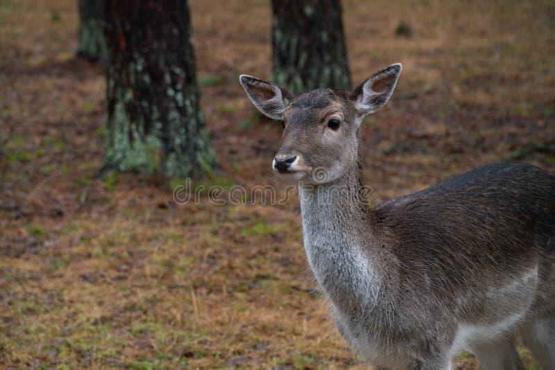 Cerfs communs dans le sauvage dans la forêt images stock