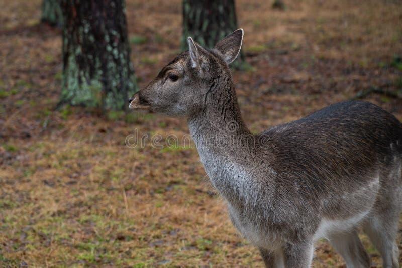 Cerfs communs dans le sauvage dans la forêt image libre de droits