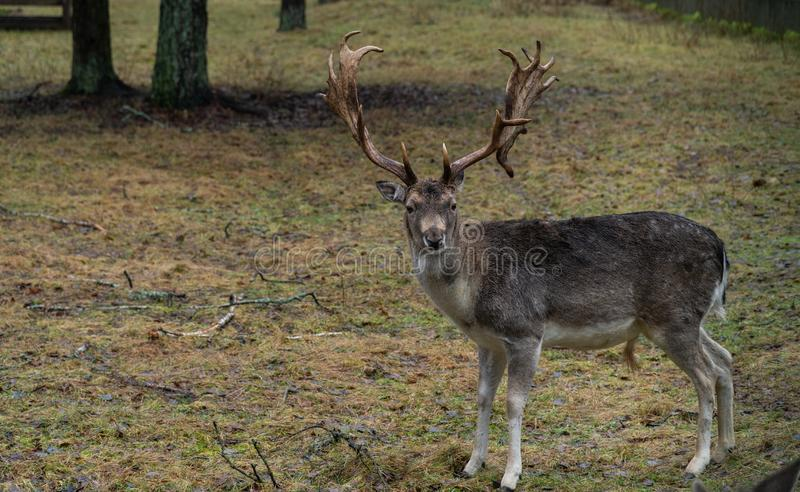 Cerfs communs dans le sauvage dans la forêt photographie stock