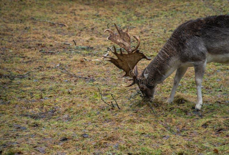 Cerfs communs dans le sauvage dans la forêt image stock