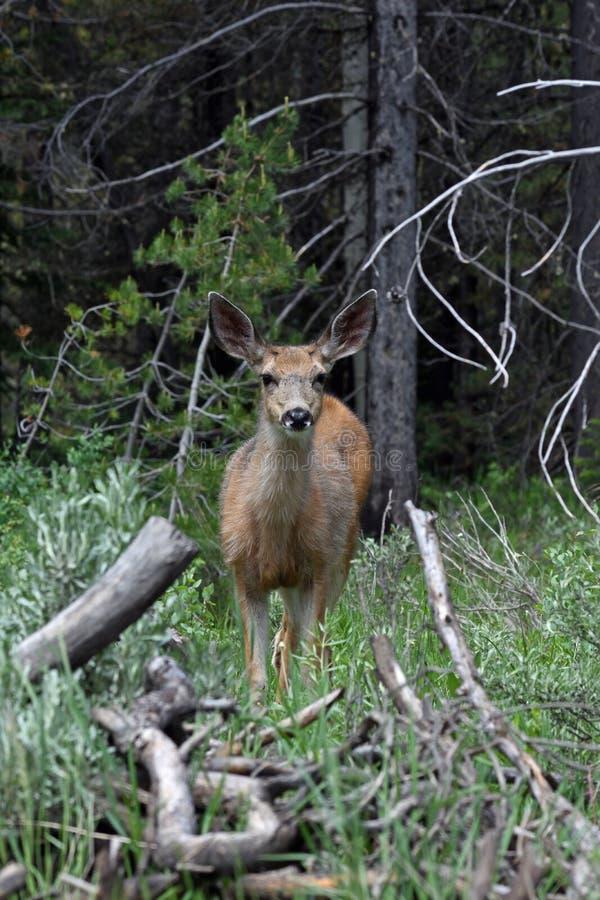 Cerfs communs dans les bois image stock