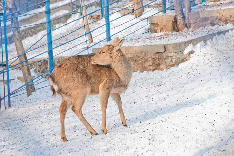 Cerfs communs dans un zoo images libres de droits