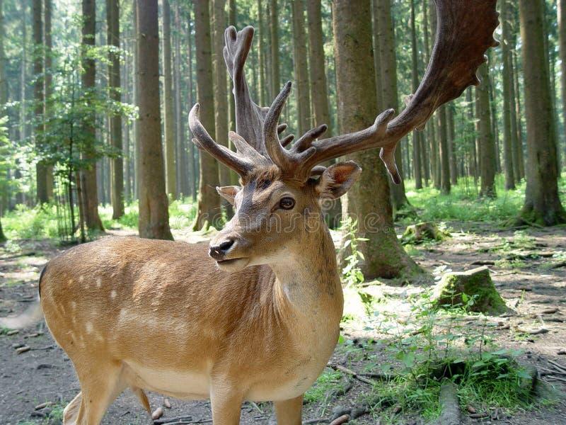 Cerfs communs dans une forêt images stock
