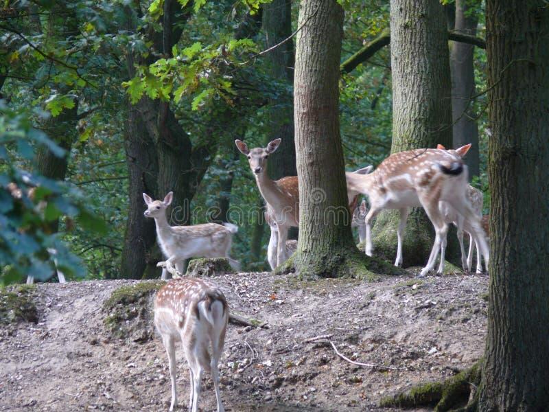 Cerfs communs dans une for?t images stock