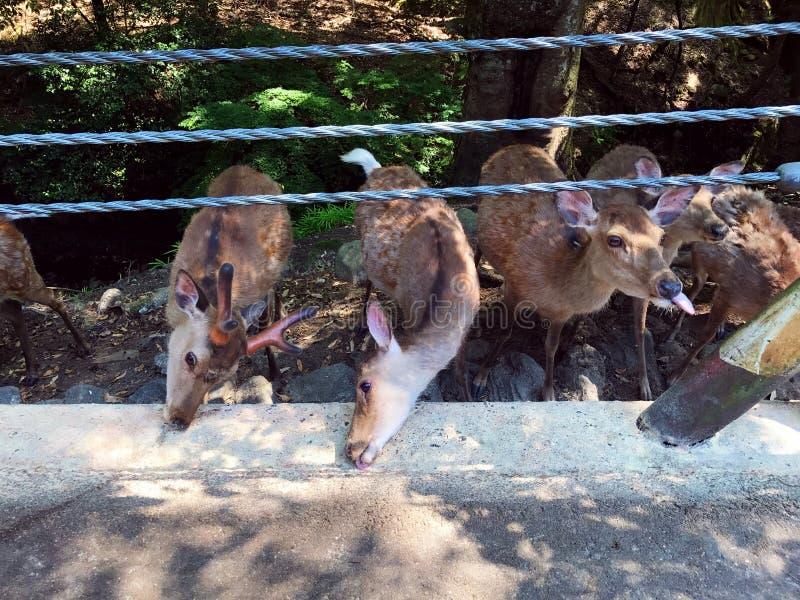 Cerfs communs de alimentation photos stock