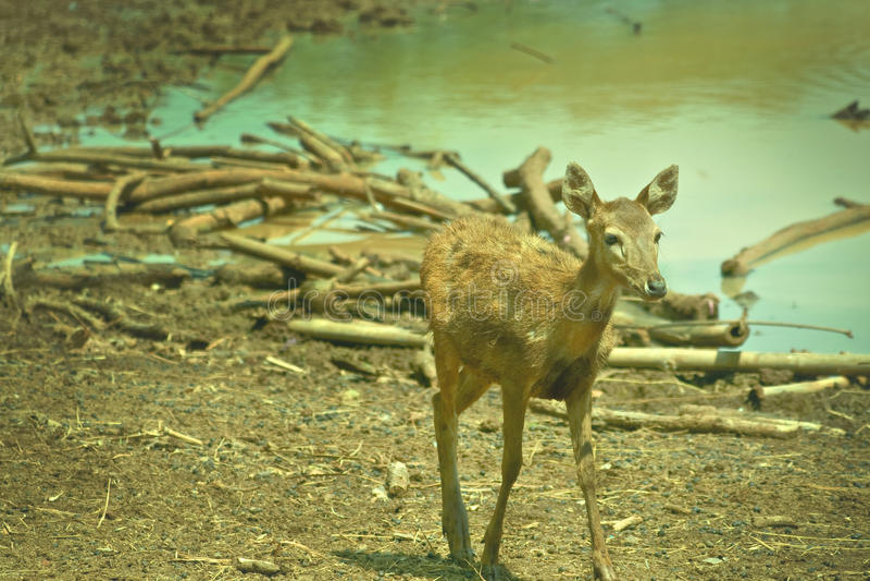 Cerfs communs de Bambi photos stock