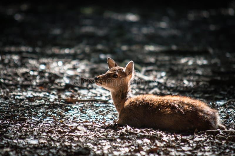Cerfs communs de chiot image libre de droits