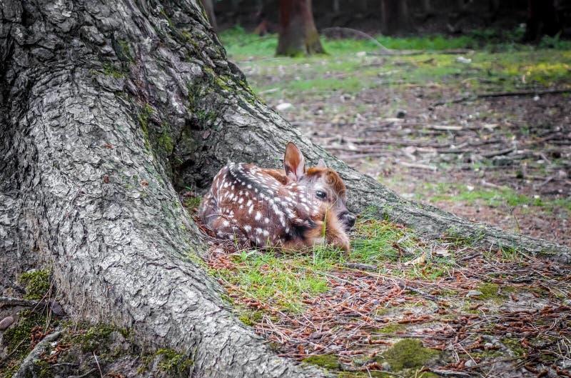 Cerfs communs de faon de Sika en forêt de Nara Park, Japon image stock