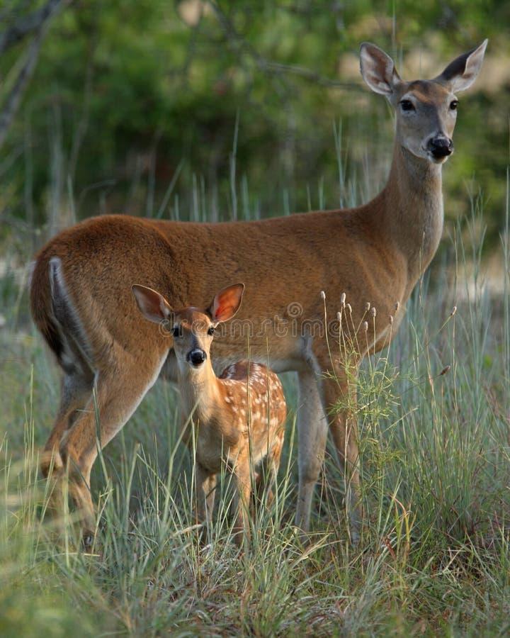Cerfs communs de mère et de chéri images libres de droits