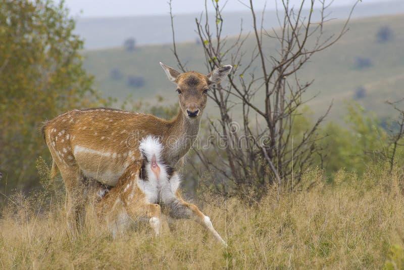 Cerfs communs de mère et de faon photographie stock libre de droits
