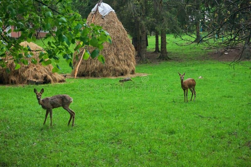 Cerfs communs de montagne sur une pelouse verte image libre de droits