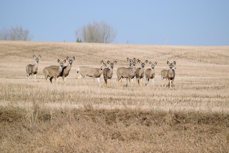 Cerfs communs de mule photo libre de droits