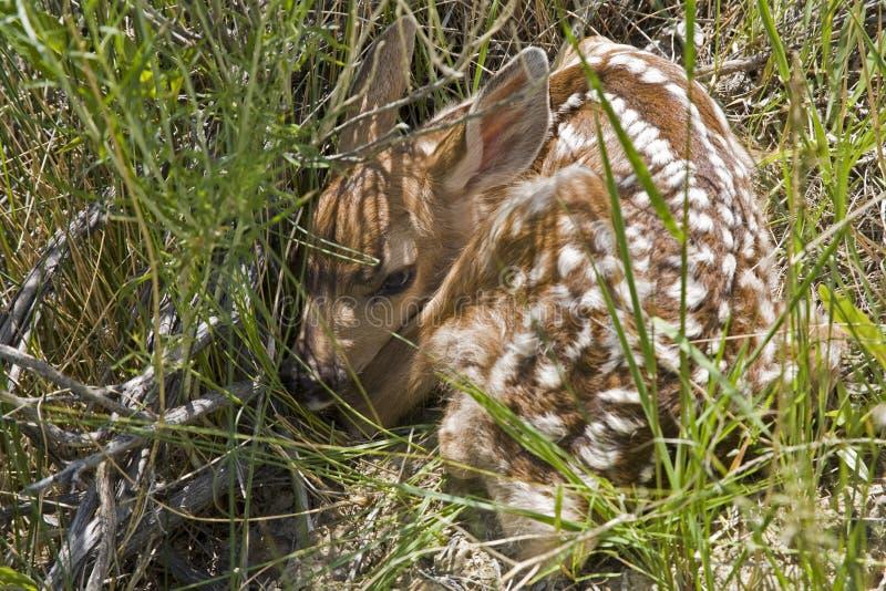 Cerfs communs de mule de faon de Bambi images libres de droits