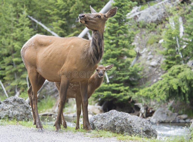 Cerfs communs de mule de mère et faon de bébé. images stock