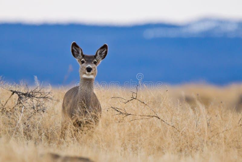 Cerfs communs de mule (hemionus d'Odocoileus). photos libres de droits