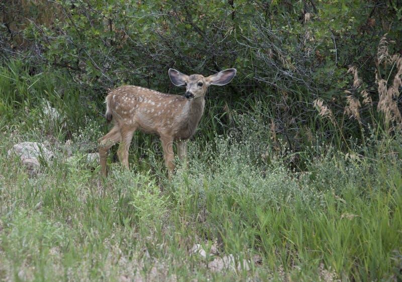 Cerfs communs de mule repérés de bébé de faon marchant dans le pré grand le Colorado d'herbe verte images stock