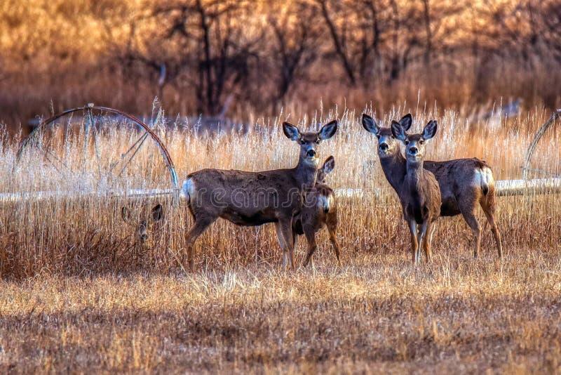 Cerfs communs de mule sur l'alerte dans la forêt photographie stock libre de droits