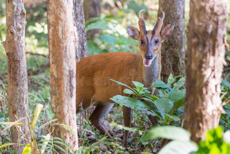 Cerfs communs de Muntjac dans la forêt photographie stock