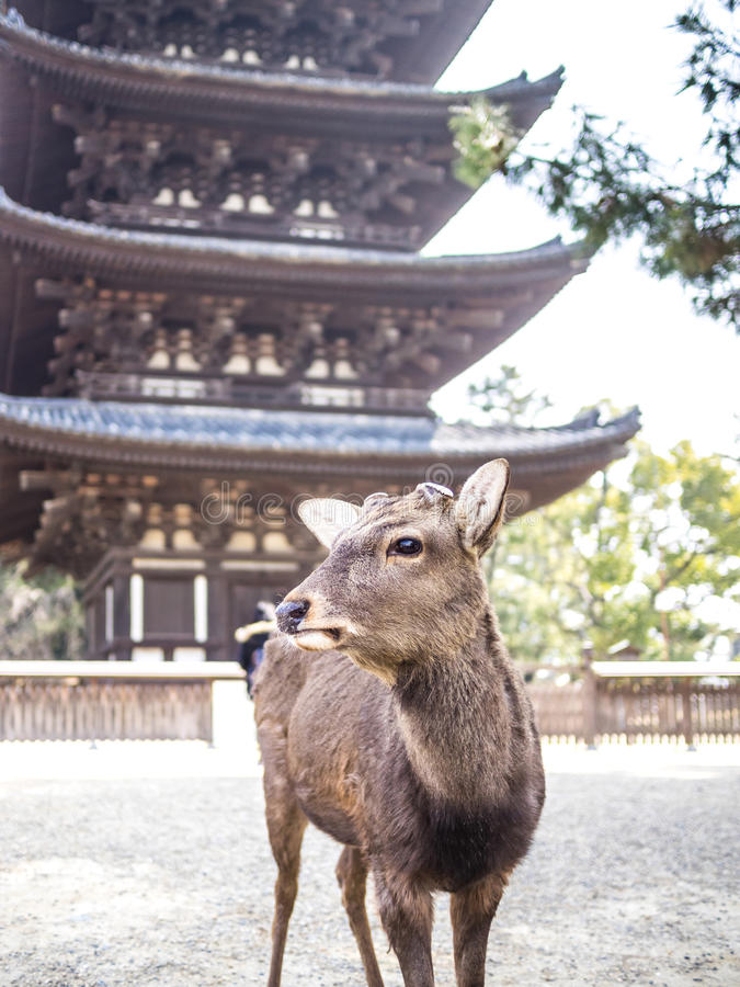 Cerfs communs de Nara photos stock
