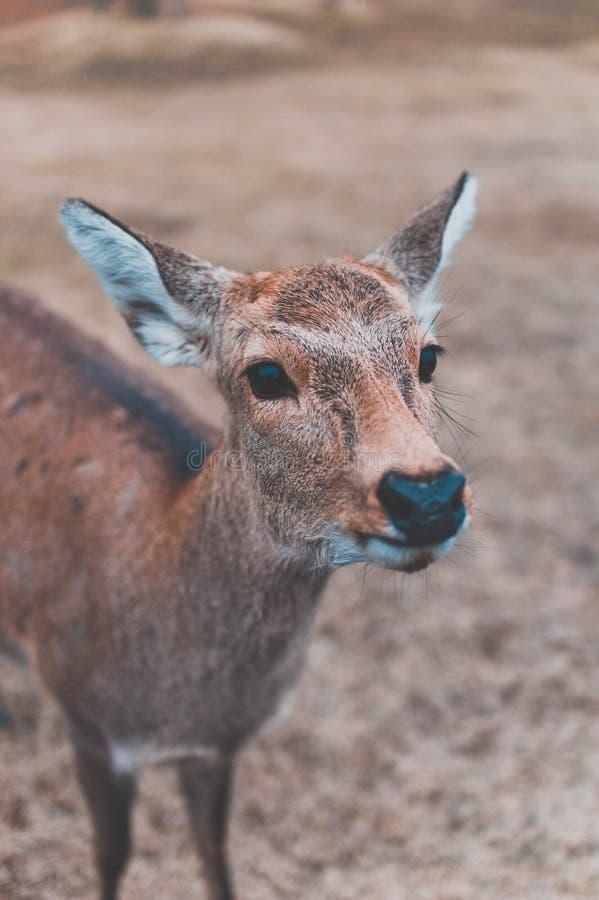 Cerfs communs de Nara, Japon image stock