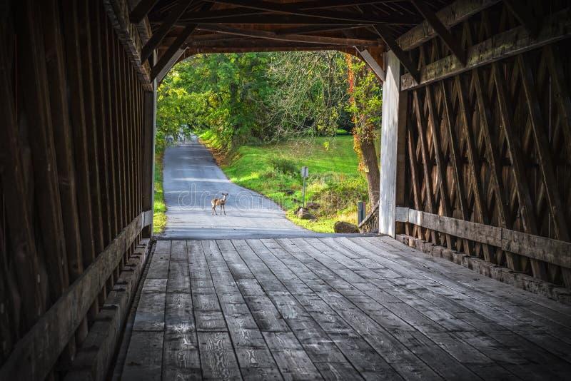 Cerfs communs de pont couvert photographie stock