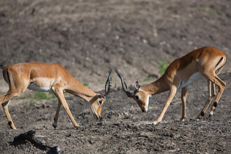 Cerfs communs de Puku rutting images libres de droits