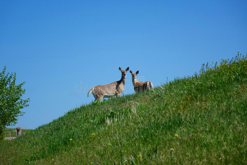 Cerfs communs de queue blanche - Missoula, Montana photographie stock libre de droits