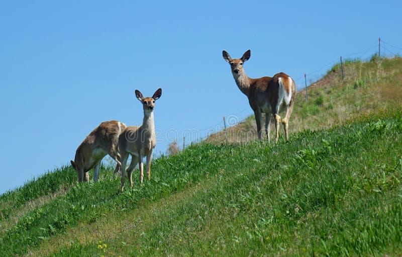 Cerfs communs de queue blanche - Missoula, Montana photo stock