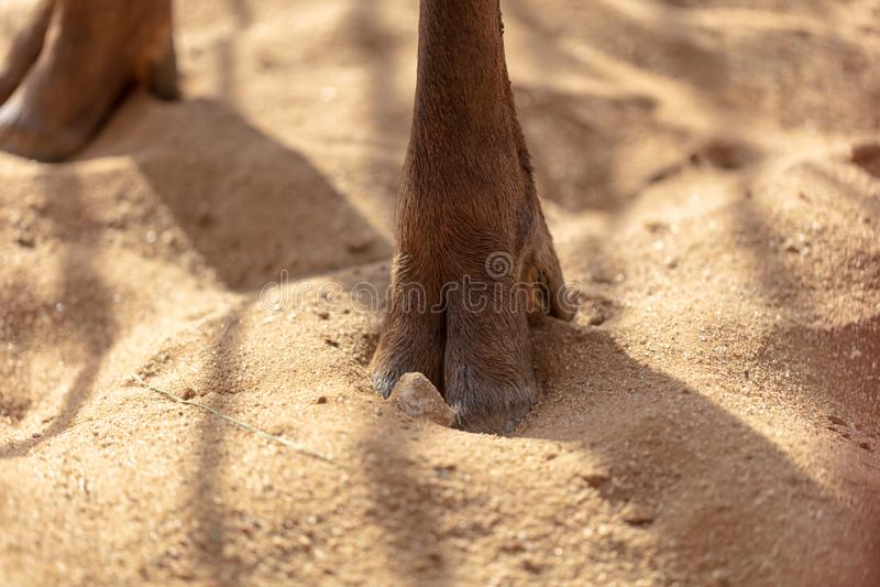 Cerfs communs de sabot sur le sable images libres de droits
