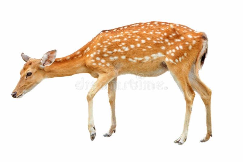 Cerfs communs de Sika devant le fond blanc, d'isolement Le cerf commun a tourn? une t?te et regarde dans une cam?ra - Image images stock