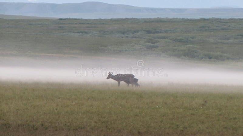 Cerfs communs de toundra photographiés en brouillard dense de matin images libres de droits