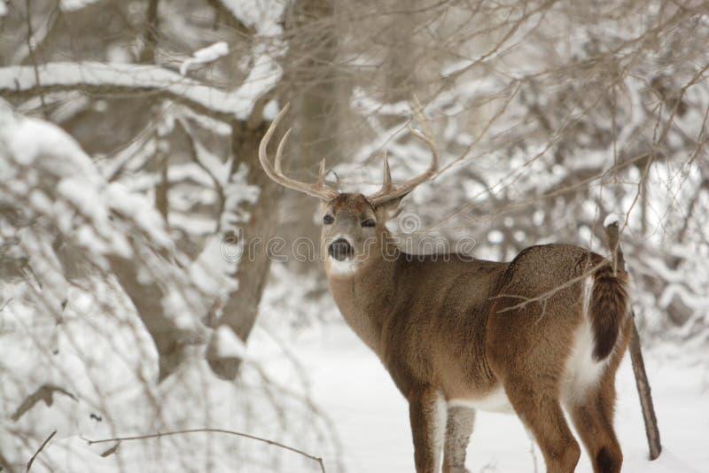 Cerfs communs de type de Whitetail dans la neige