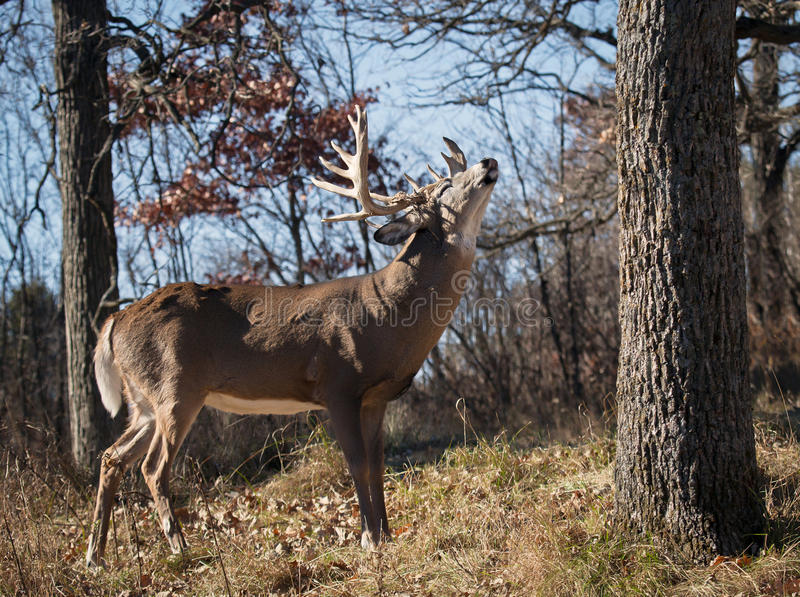 Cerfs communs de Whitetail images stock