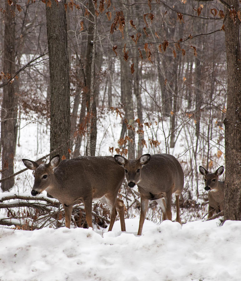 Cerfs communs de Whitetail photo libre de droits