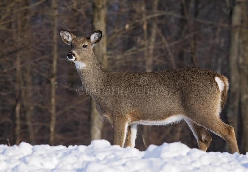 Cerfs communs de Whitetail photo stock