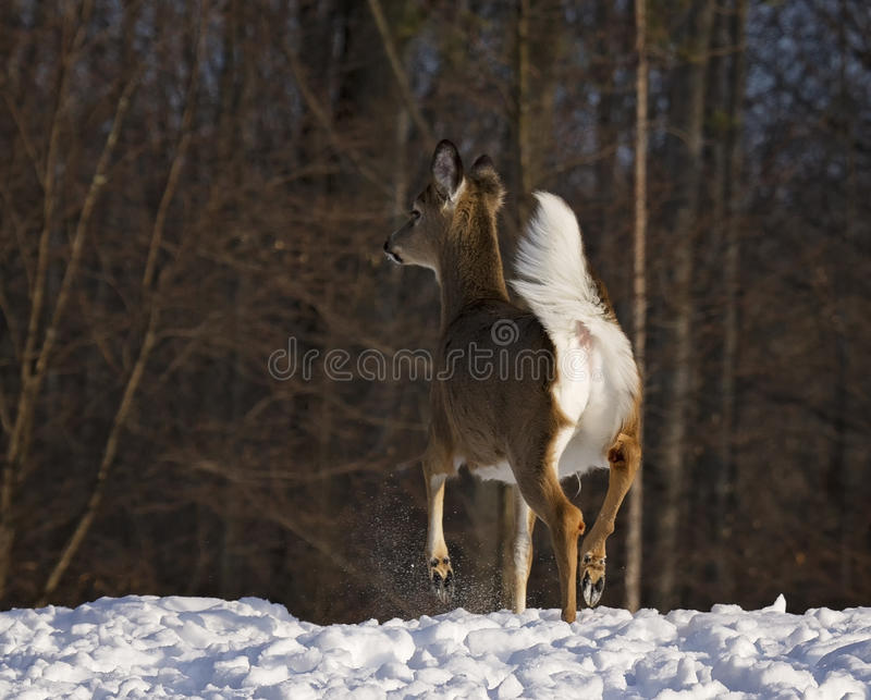 Cerfs communs de Whitetail image libre de droits