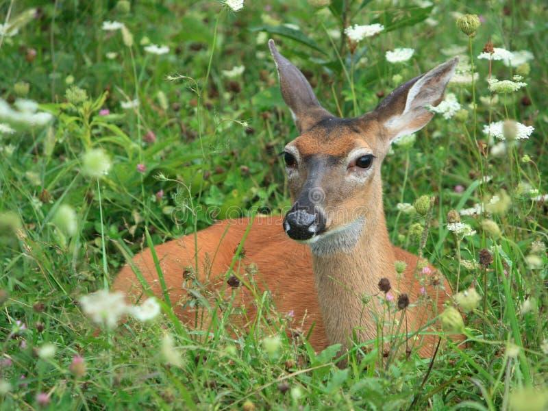 Cerfs communs de Whitetail dans l'herbe photographie stock