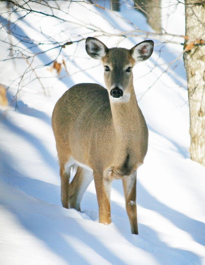 Cerfs communs de Whitetail dans la neige photo libre de droits