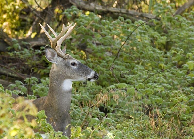 Cerfs communs de Whitetail de type images stock