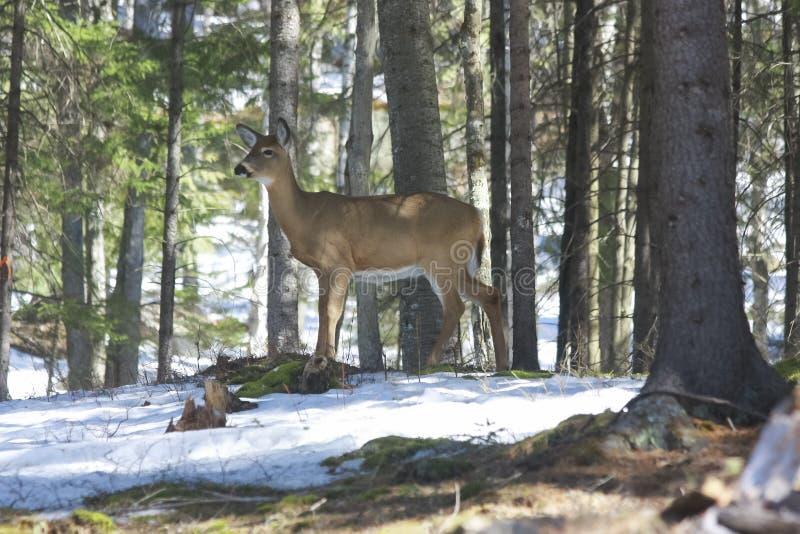 Cerfs communs de Whitetails dans son habitat naturel i photos stock
