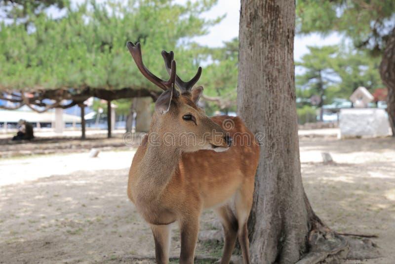 cerfs communs du Japon sur l'île de Miyajima images libres de droits