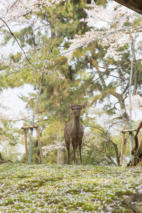 Cerfs communs en Nara Park photos stock
