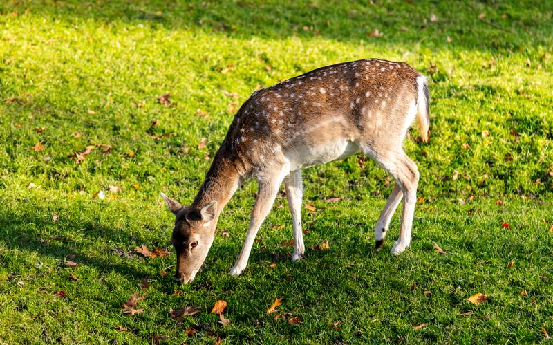 Cerfs communs en parc au soleil photo stock