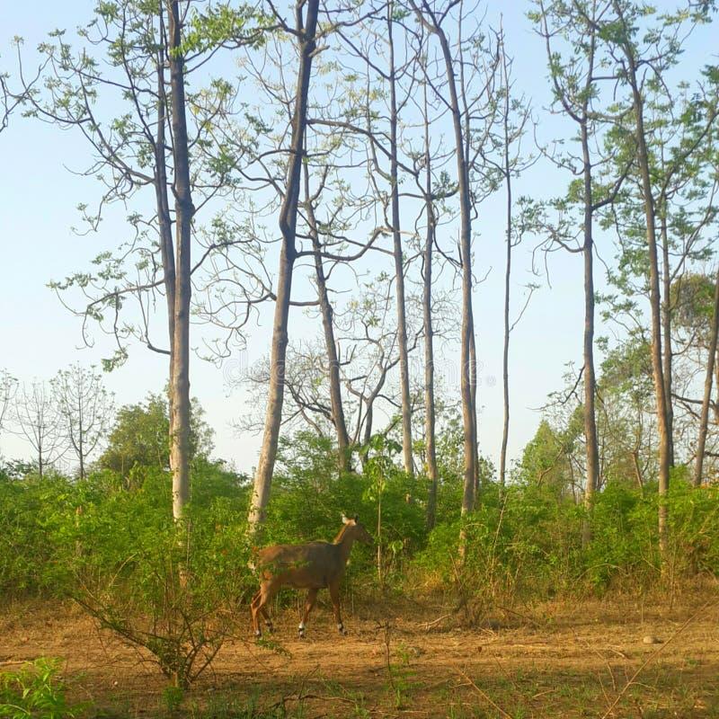 Cerfs communs en parc national de corbett de JIM photo libre de droits