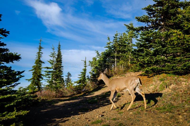 Cerfs communs en parc national olympique image stock