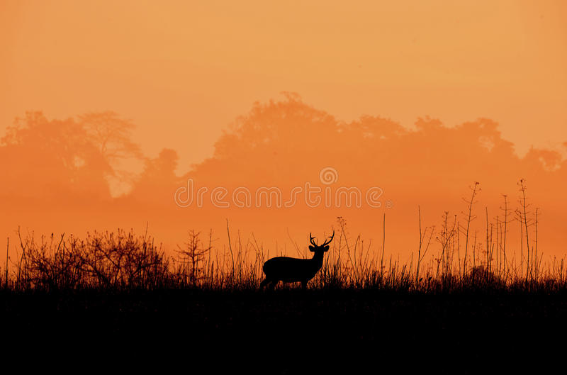 Cerfs communs en silhouette de noir du pré A photo stock