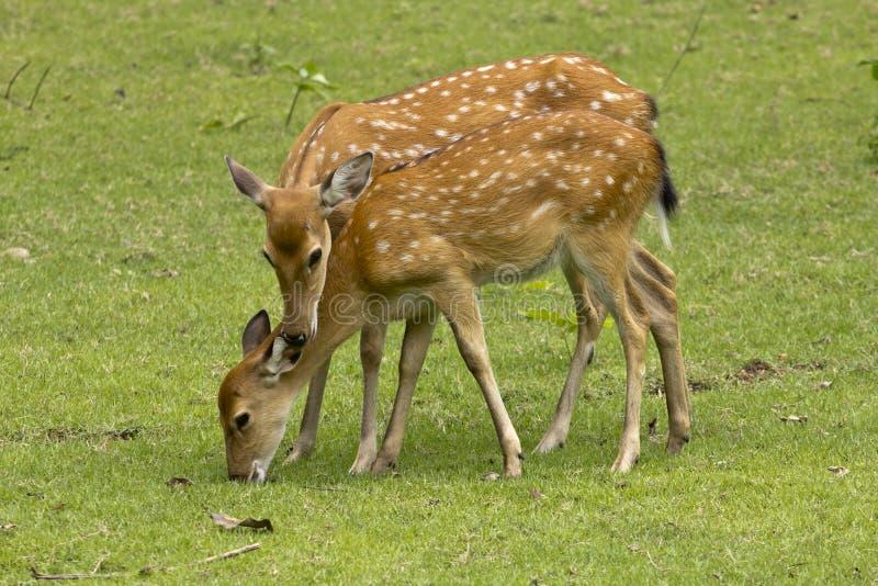 Cerfs communs et faon de mère image stock
