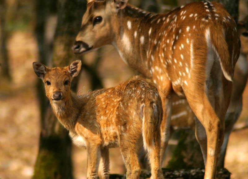 Cerfs communs et mère de chéri photo stock