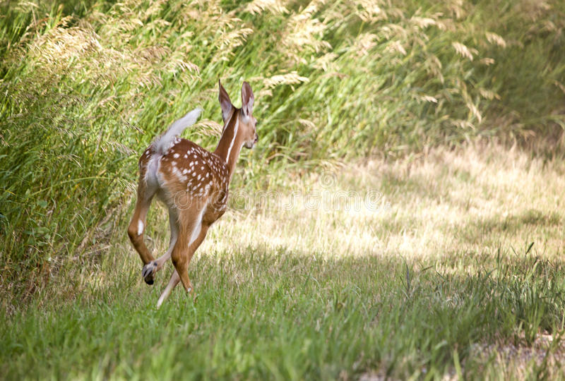 Cerfs communs Fawn Running photo libre de droits