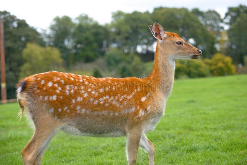 Cerfs communs femelles dans le pré d'herbe photos stock